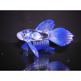 Siamese fighting fish blue